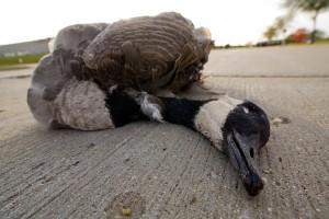 dead_goose