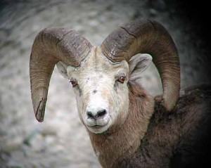rocky-mtn-sheep-2